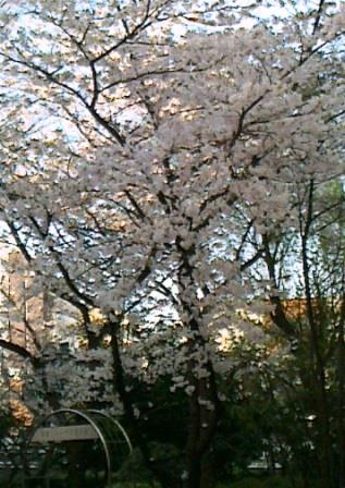 20150330 桜 演舞場隣