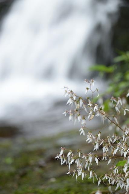 滝とユキノシタ1