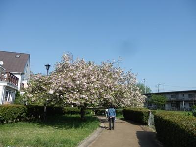 4/26 八重桜  桜の散歩道