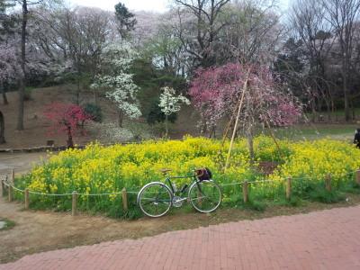三ツ池 桜