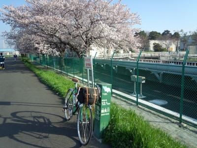 鶴見川 桜