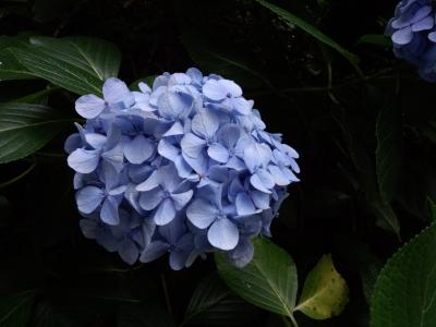 三ツ池 紫陽花