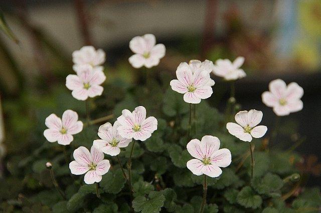 ヒメフウロ 白花