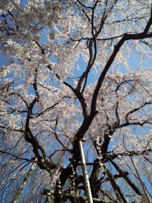 綱五郎1江戸彼岸桜