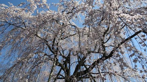 綱五郎3枝垂桜