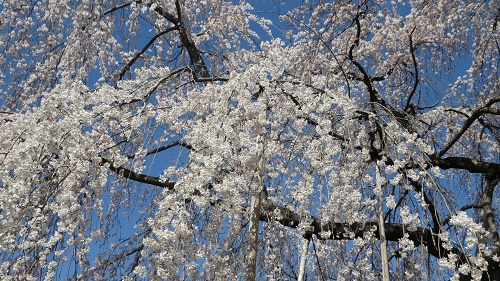 綱五郎4枝垂桜