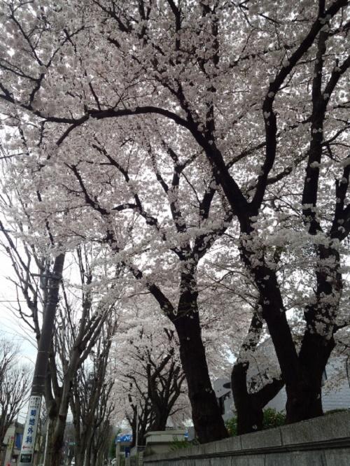 桜1トヨタ