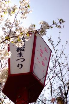 maturi_2015sakura_1.jpg