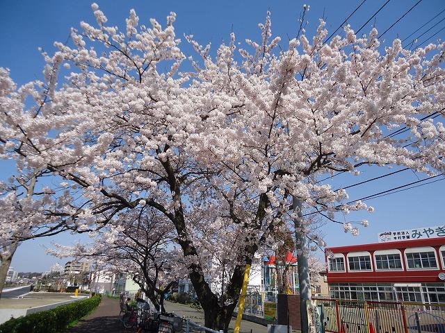 1504sakura001.jpg