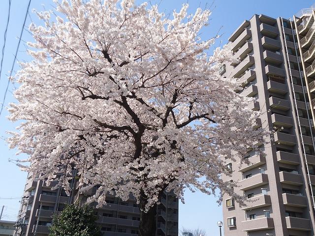 1504sakura002.jpg