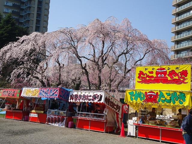 1504sakura004.jpg