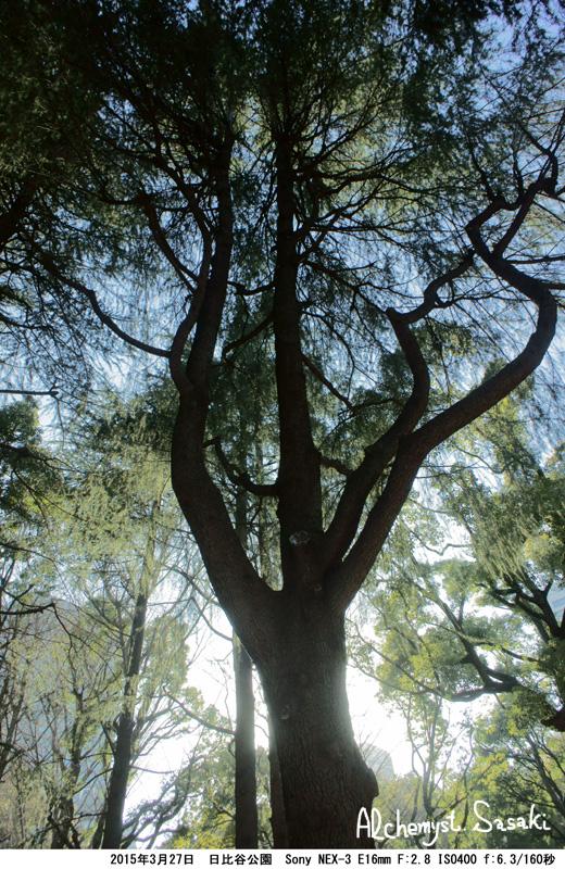 日比谷公園の桜DSC08921