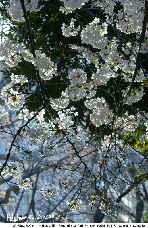 日比谷公園の桜DSC08963