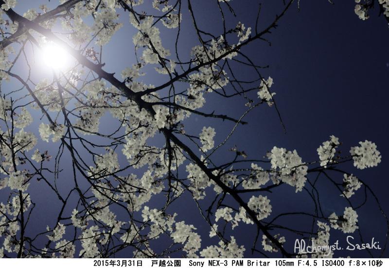 戸越公園の夜桜DSC09658