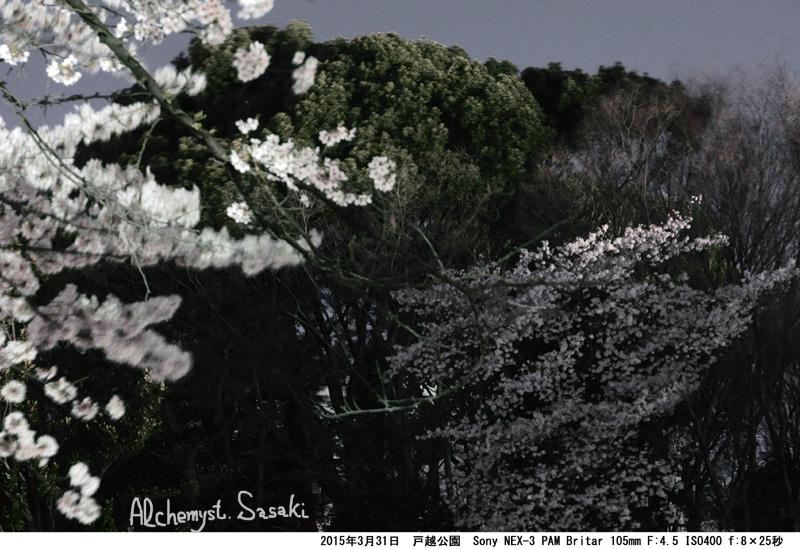 戸越公園の夜桜DSC09692