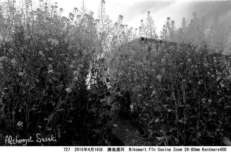 菜の花727-15