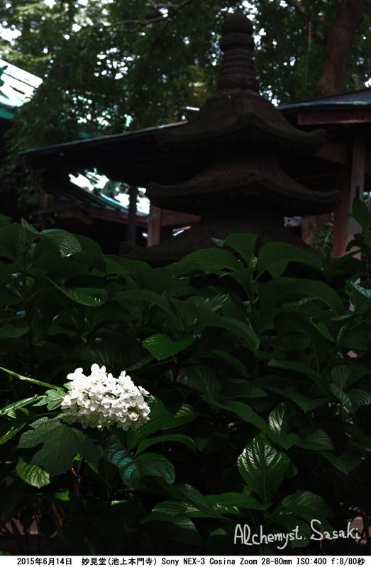 妙見堂の紫陽花DSC01613 Ⅱ