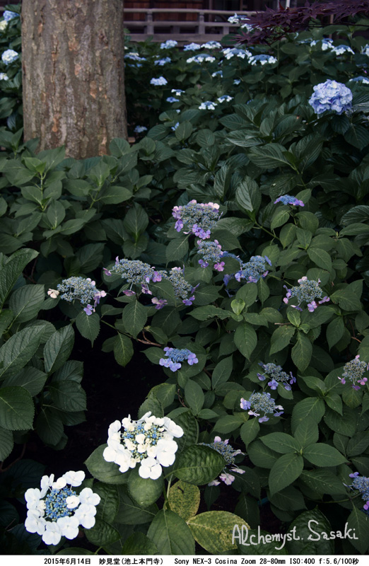 妙見堂の紫陽花DSC01636