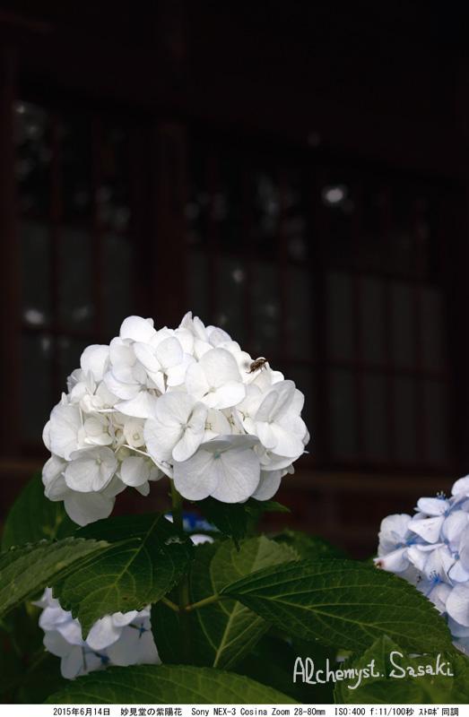 妙見堂の紫陽花DSC01647