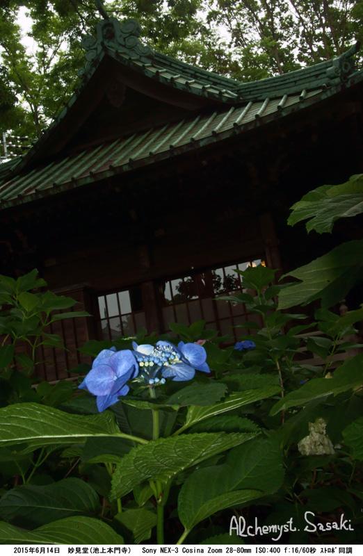 妙見堂の紫陽花DSC01683
