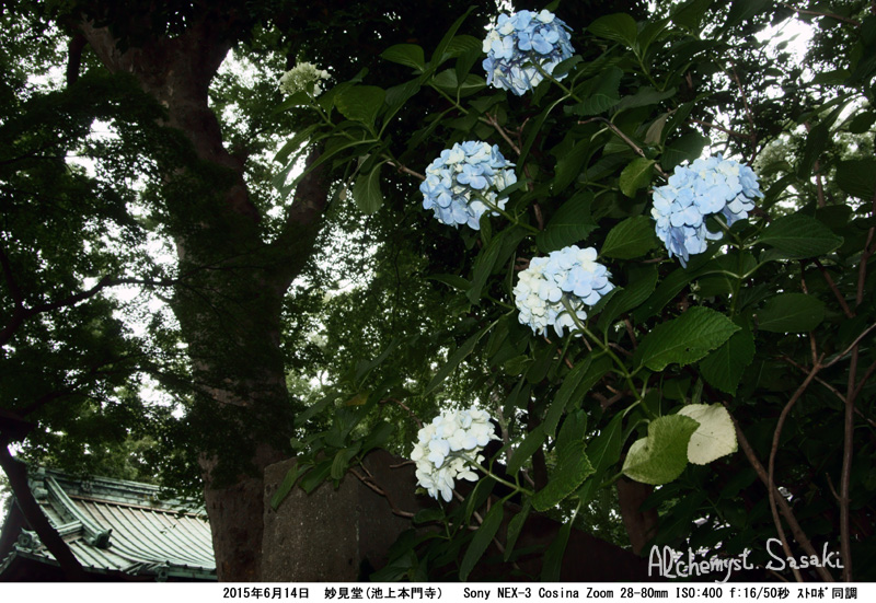妙見堂の紫陽花DSC01674