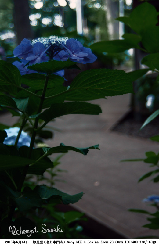 妙見堂の紫陽花DSC01739