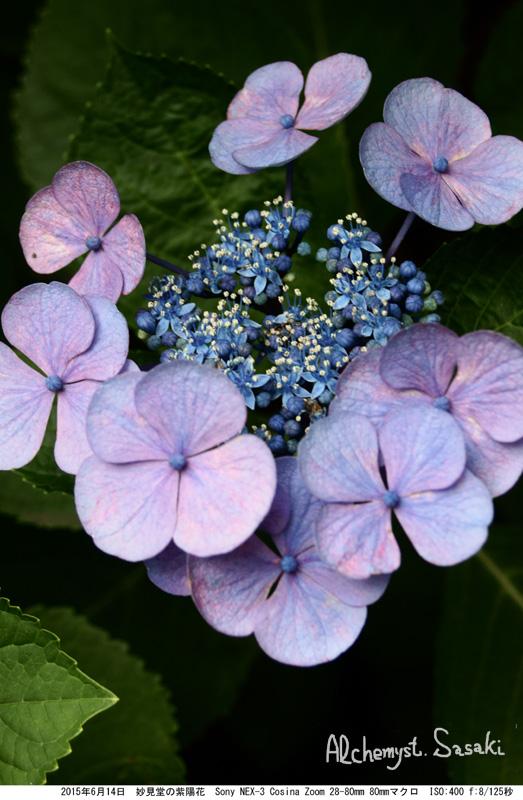 妙見堂の紫陽花DSC01793
