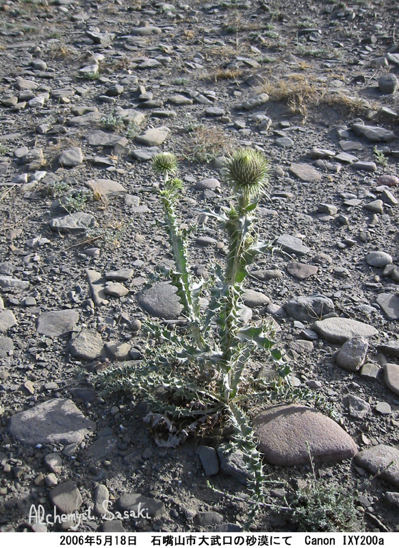 砂漠のアザミIMG_8456