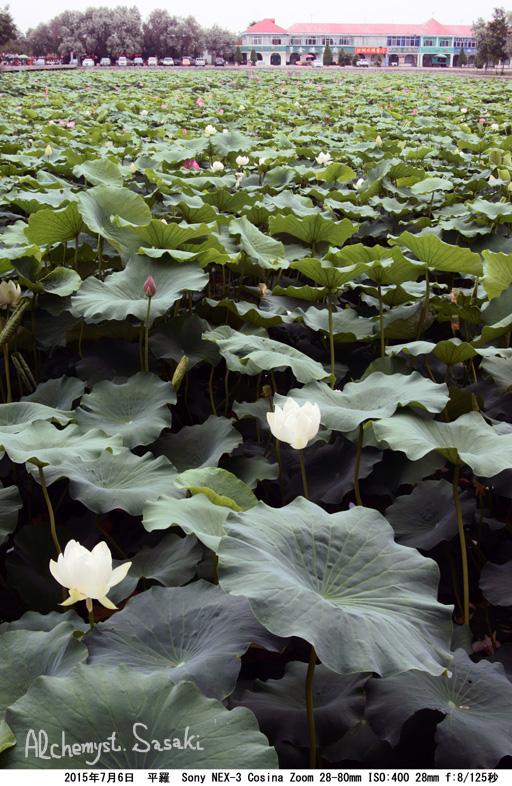 寧夏の花DSC02546