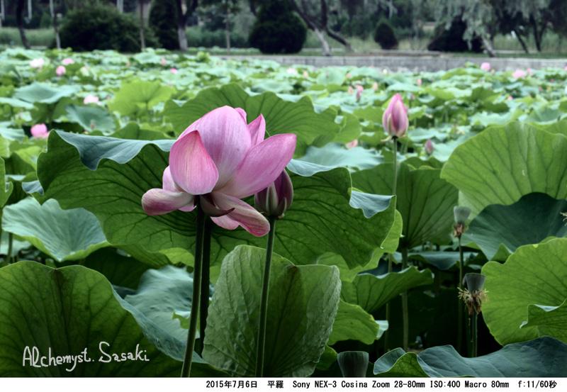 寧夏の花DSC02547