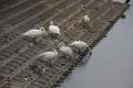 20150318千葉県白井市清水口調整池 残っている6羽(成鳥3+幼鳥3)