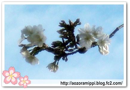 テンボスの桜アップ