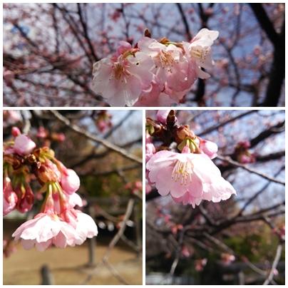page sakura
