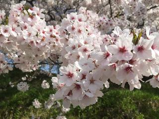 20150420 元 会津陸上競技場の桜