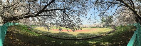 20150420 元 会津陸上競技場の桜-3