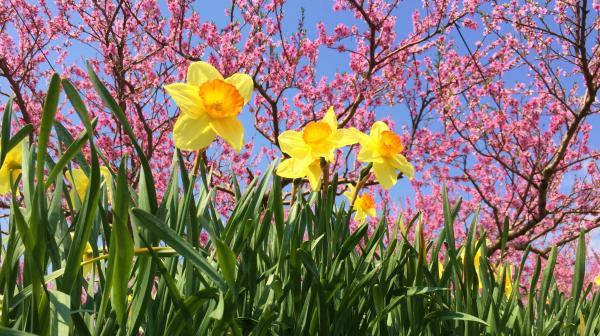 20150425桃の花と水仙