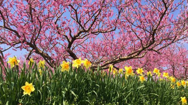 20150425桃の花と水仙 (2)
