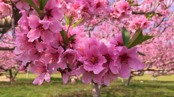 20150425桃の花びら