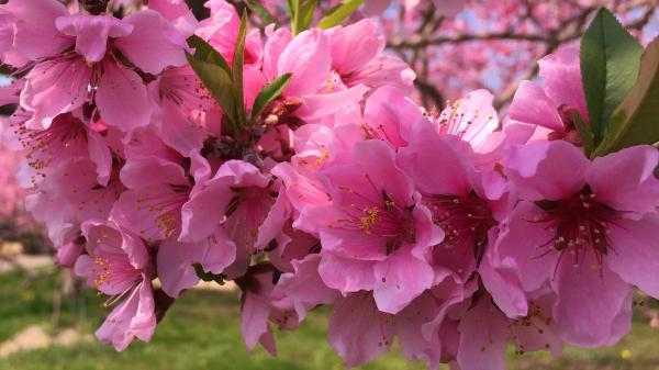 20150425桃の花びら (2)