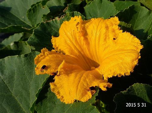 s-カボチャの花20150531