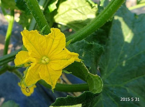 s-キュウリの花20150531