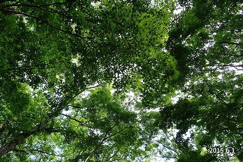 s-田人路の広葉樹林①20150601