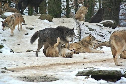 オオカミ6