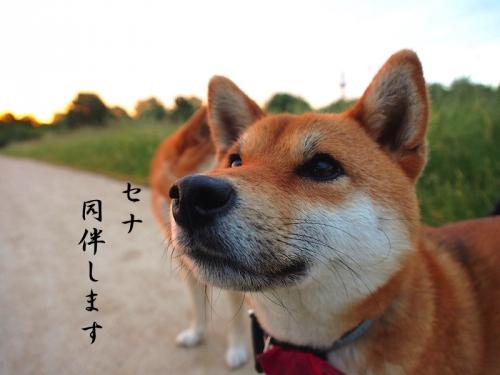 同伴犬セナ copy