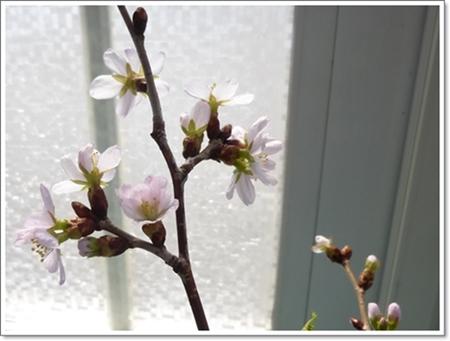 桜2015年4月25日
