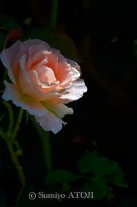 薔薇園-033