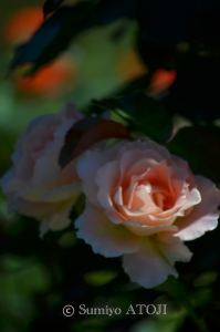 薔薇園-034