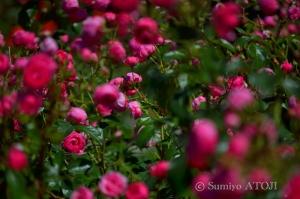薔薇園-052