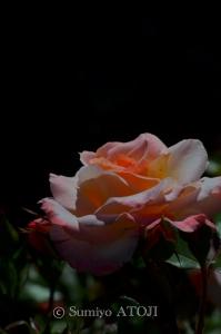 薔薇園-081