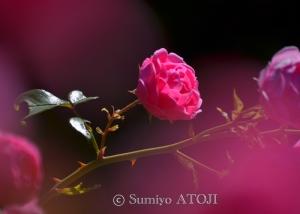 薔薇園-056